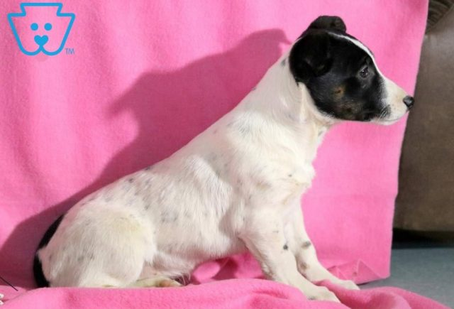 Tinkerbell Jack Russell Mix2