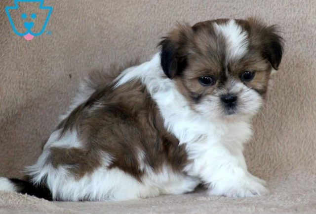Toby2-Shih-Tzu-Toy-Dog-Breed-AKC