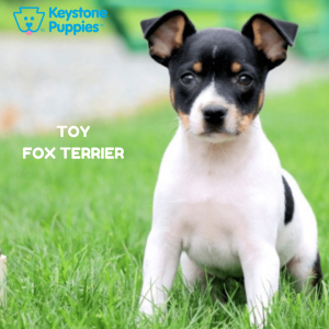 toy-fox-terrier-healthy-responsibly-bred-Pennsylvania