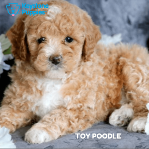 toy-poodle-healthy-responsibly-bred-Pennsylvania