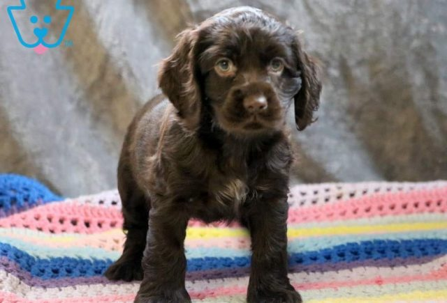 Tweety2-Cocker-Spaniel-Sporting-Dog-Breed-AKC