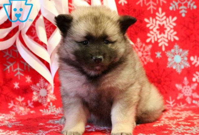 Twinkles-Keeshond-Nonsporting-Dog-Breed-AKC