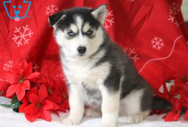 Wally-Siberian-Husky-Working-Dog-Breed-AKC