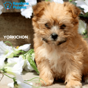 yorkichon-healthy-responsibly-bred-Pennsylvania
