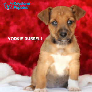 yorkie-russell-healthy-responsibly-bred-Pennsylvania