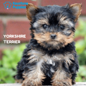 yorkshire-terrier-healthy-responsibly-bred-Pennsylvania
