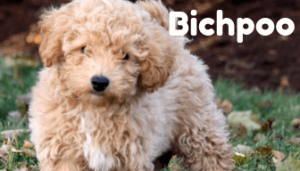 bichpoo-healthy-responsibly-bred-Pennsylvania