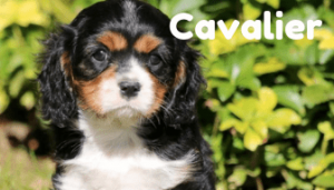 cavalier-healthy-responsibly-bred-Pennsylvania