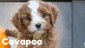 cavapoo-healthy-responsibly-bred-Pennsylvania