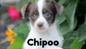 chipoo-healthy-responsibly-bred-Pennsylvania