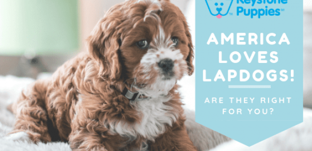 America Loves Lapdogs!