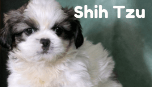 shih-tsu-healthy-responsibly-bred-Pennsylvania