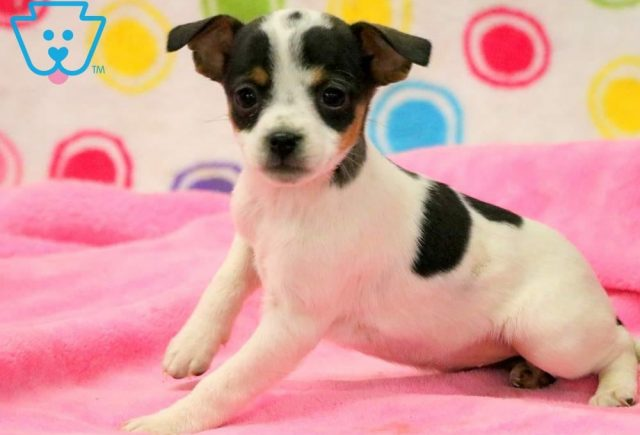 Abby Jack Russell 2