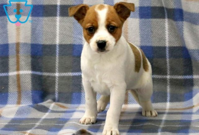 Anchor Jack Russell 2