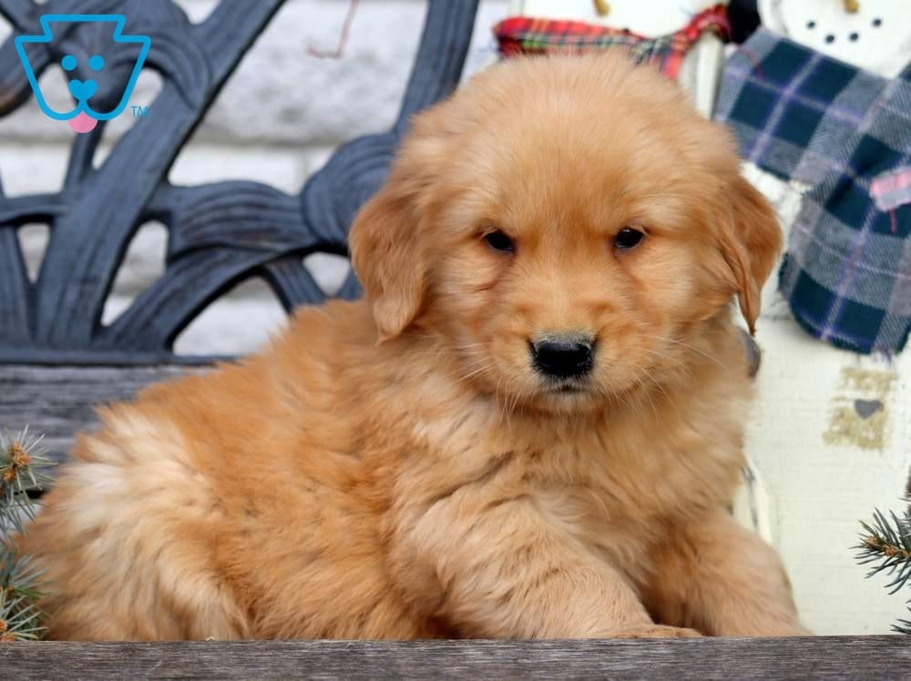 Golden Retriever puppy for sale in PA