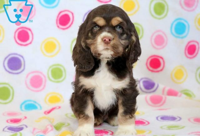 Bailey-Cocker-Spaniel-Sporting-Dog-Breed-AKC
