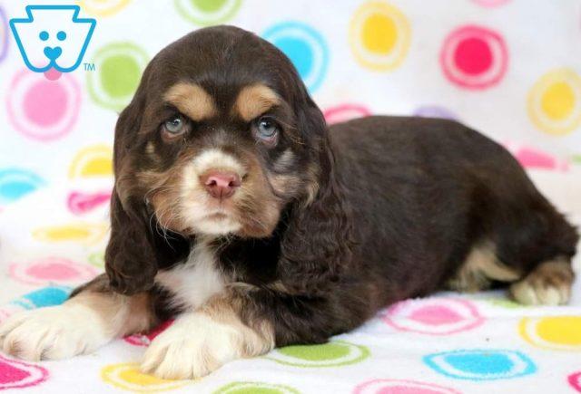 Bailey2-Cocker-Spaniel-Sporting-Dog-Breed-AKC