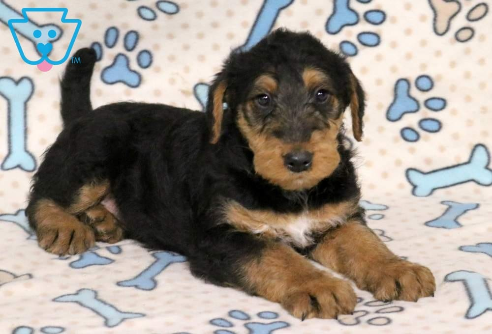 Biscuit Airedale Terrier Puppy For Sale Keystone Puppies