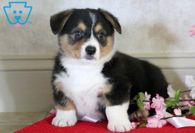 Bruno-Welsh-Corgi-Pembroke-Herding-Dog-Breed-AKC