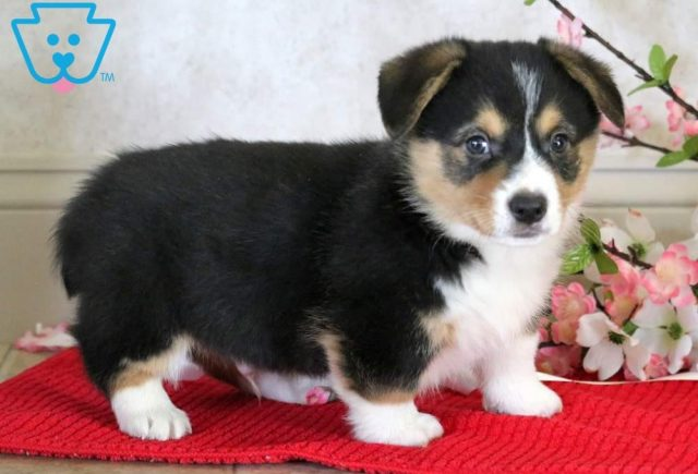 Bruno2-Welsh-Corgi-Pembroke-Herding-Dog-Breed-AKC