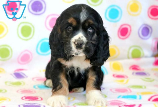 Bubba-Cocker-Spaniel-Sporting-Dog-Breed-AKC