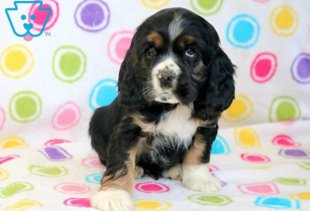 Bubba2-Cocker-Spaniel-Sporting-Dog-Breed-AKC