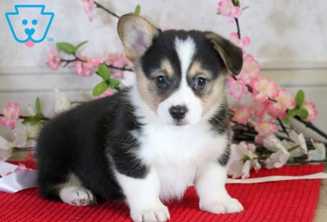 Buckwheat-Welsh-Corgi-Pembroke-Herding-Dog-Breed-AKC
