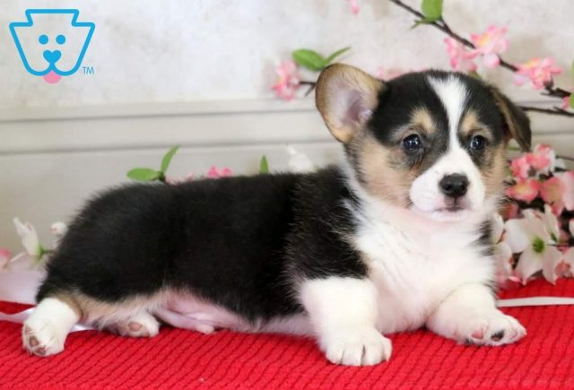 Buckwheat2-Welsh-Corgi-Pembroke-Herding-Dog-Breed-AKC