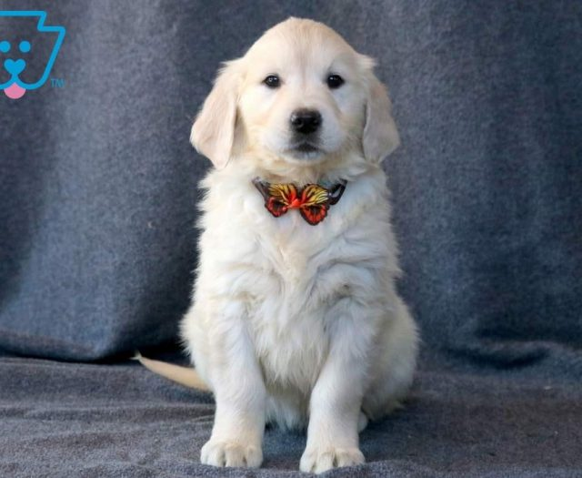 Buffy Golden Retriever English Cream Puppy For Sale Keystone