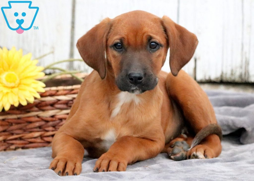 Buttercup | Redbone Coonhound Puppy For Sale | Keystone ...
