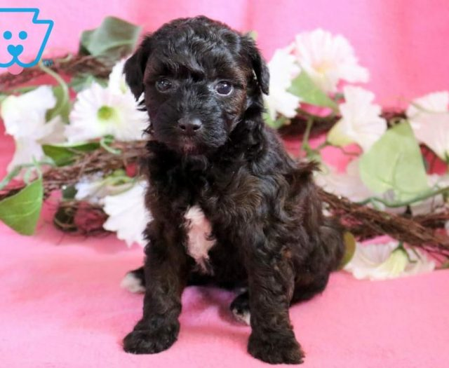 Havapoo Puppies For Sale Puppy Adoption Keystone Puppies