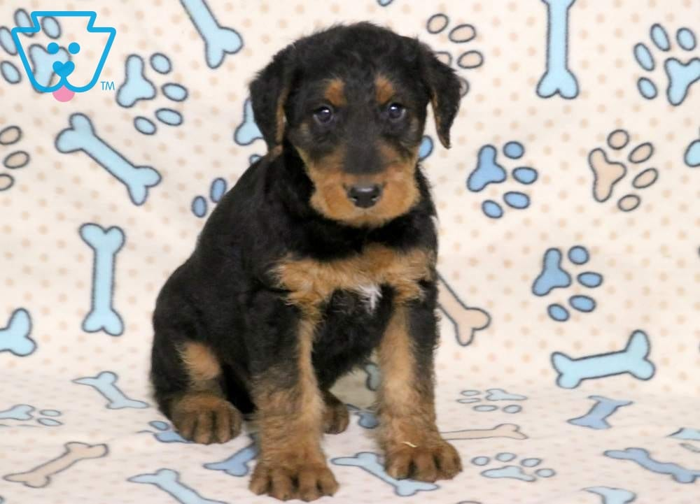 Buttons Airedale Terrier Puppy For Sale Keystone Puppies