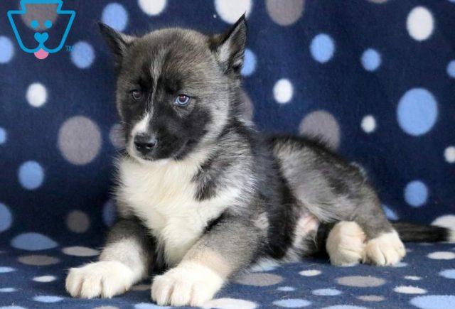 Buttons-Siberian-Husky-Working-Dog-Breed-AKC