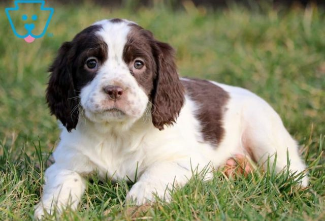 Candy-English-Springer-Spaniel-Sporting-Dog-Breed-AKC