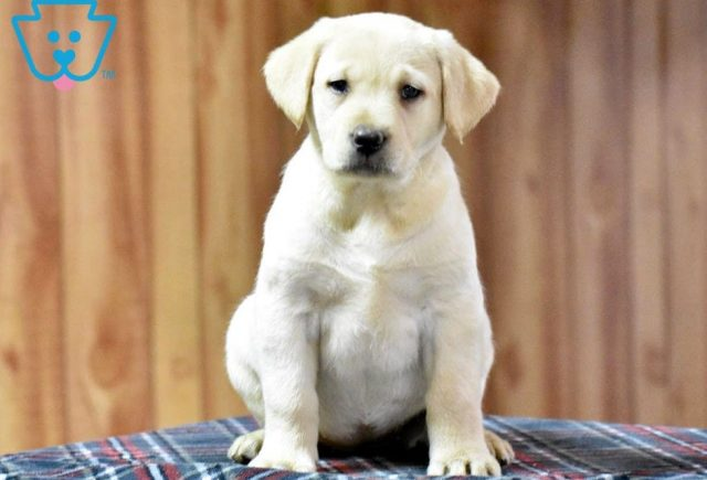 Candy-Labrador-Retriever-Sporting-Dog-Breed-AKC-Yellow