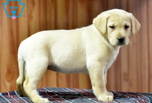 Candy2-Labrador-Retriever-Sporting-Dog-Breed-AKC-Yellow