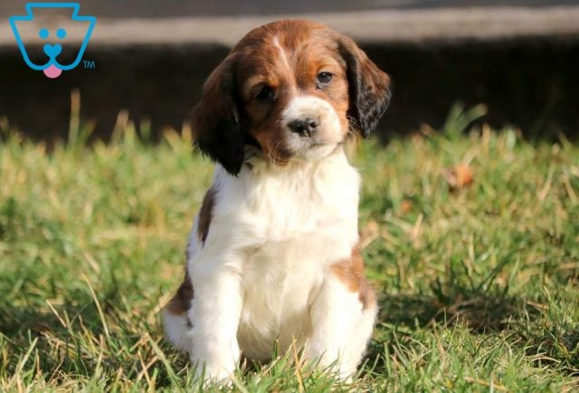 Care-Bear-English-Springer-Spaniel-Sporting-Dog-Breed-AKC