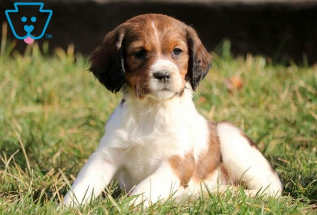 Care-Bear2-English-Springer-Spaniel-Sporting-Dog-Breed-AKC