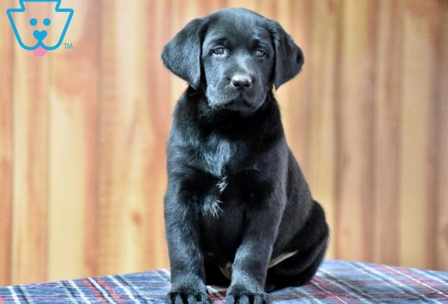 Carmen-Labrador-Retriever-Sporting-Dog-Breed-AKC-Black