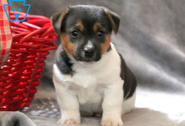 Carter-Jack-Russell-Terrier-AKC-Dog-Breed