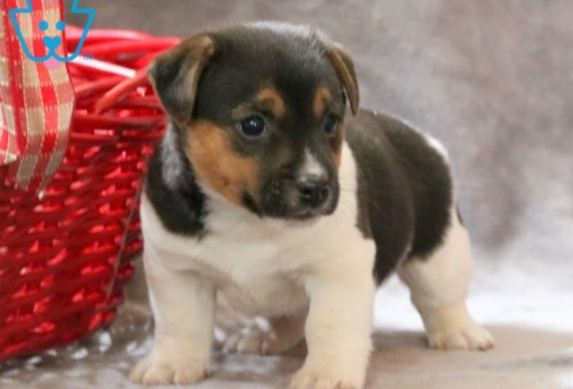Carter2-Jack-Russell-Terrier-AKC-Dog-Breed