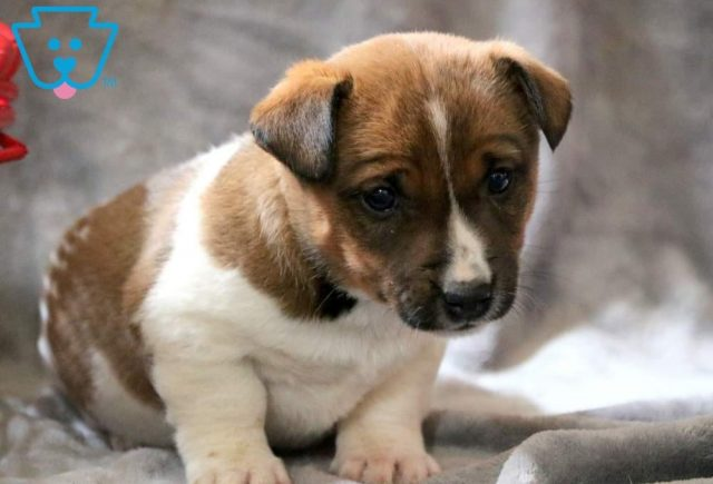 Charlie-Jack-Russell-Terrier-AKC-Dog-Breed