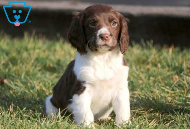 Chelsea-English-Springer-Spaniel-Sporting-Dog-Breed-AKC