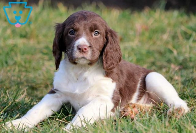 Chelsea2-English-Springer-Spaniel-Sporting-Dog-Breed-AKC