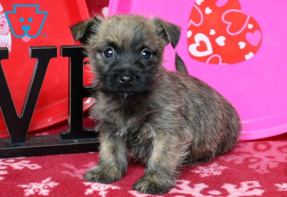 Chester | Cairn Terrier Puppy For Sale | Keystone Puppies