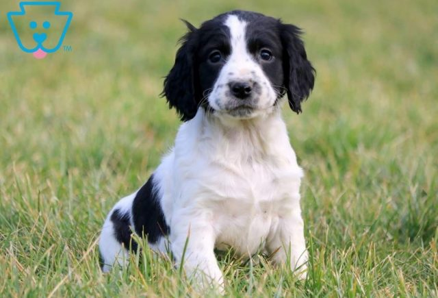 Chip-English-Springer-Spaniel-Sporting-Dog-Breed-AKC