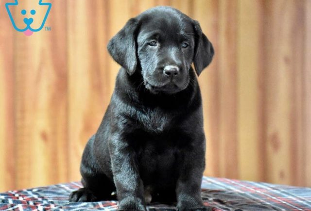 Chopper-Labrador-Retriever-Sporting-Dog-Breed-AKC-Black