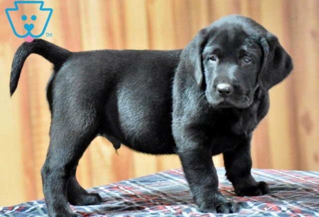 Chopper2-Labrador-Retriever-Sporting-Dog-Breed-AKC-Black