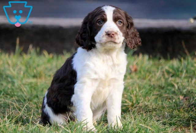Chopper-English-Springer-Spaniel-Sporting-Dog-Breed-AKC