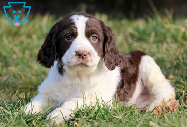 Chopper2-English-Springer-Spaniel-Sporting-Dog-Breed-AKC